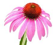 Sonnenhut (Echinacea purpurea) Einzelne Blüte mit Blütenblätt